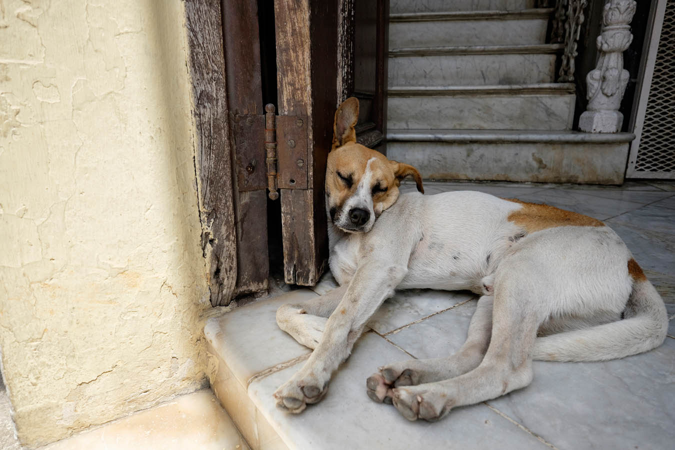 Dogs of Cuba, photography by Sharon Blance