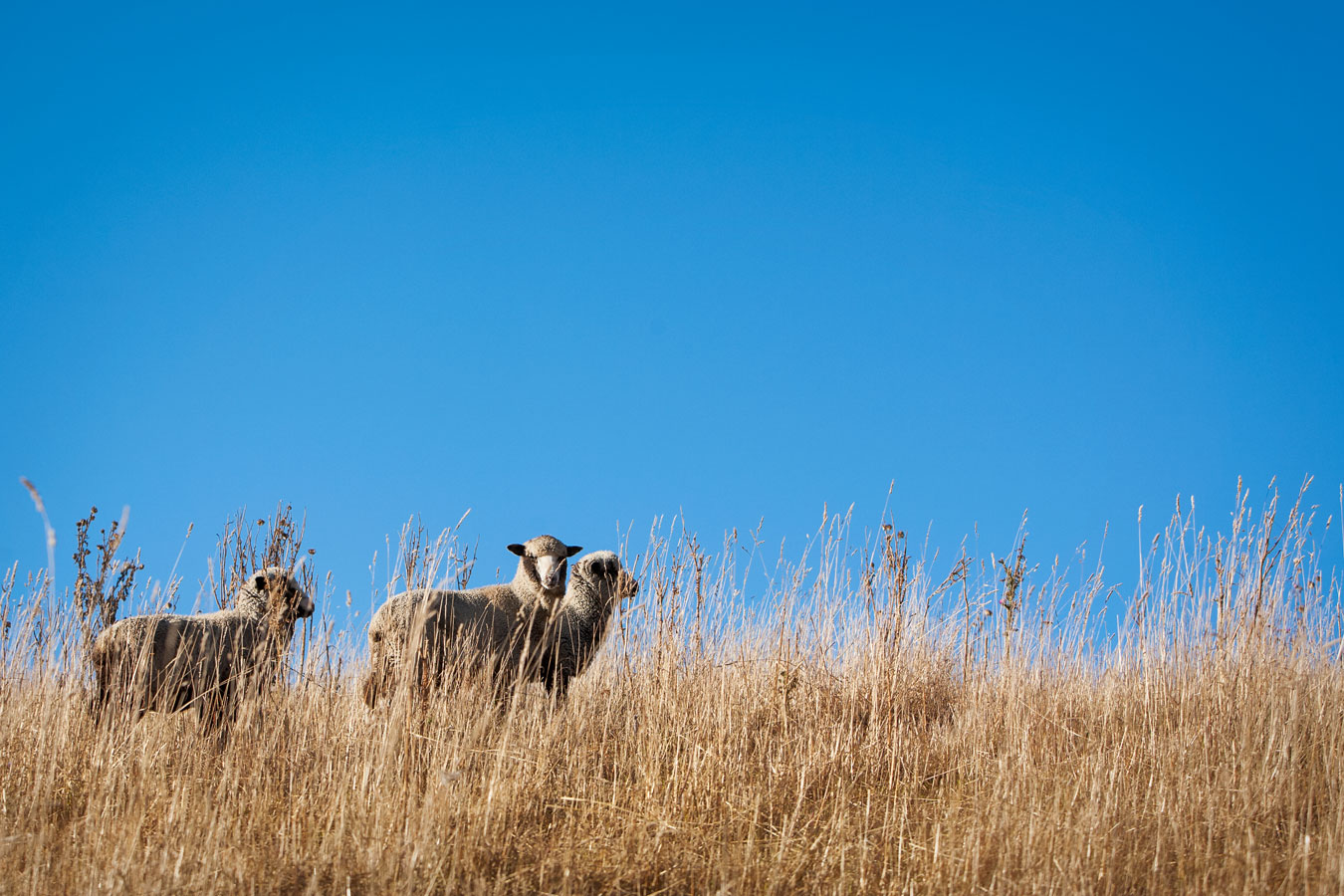 New Zealand merino story shot by Sharon Blance, Melbourne editorial and commercial photographer